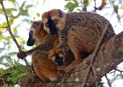 Red Fronted Brown Lemur, Madagascar